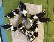 Hvalpe – 3 uger gamle